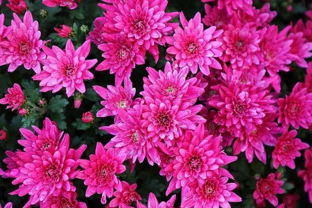 Die Chrysanthema in Lahr soll abgesagt werden