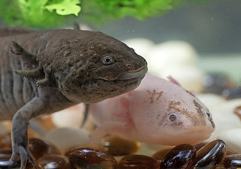Den Axolotl gibt es auch in Grau.  | Foto: Maslov Dmitry - stock.adobe.com