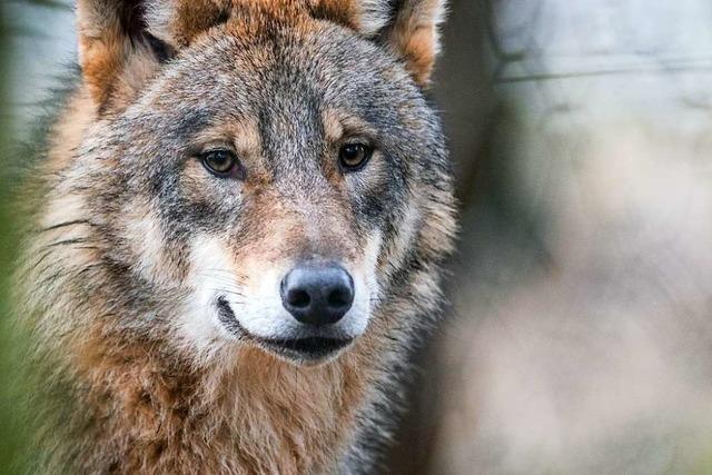 Der Wolf bleibt in Münstertal das Mega-Thema