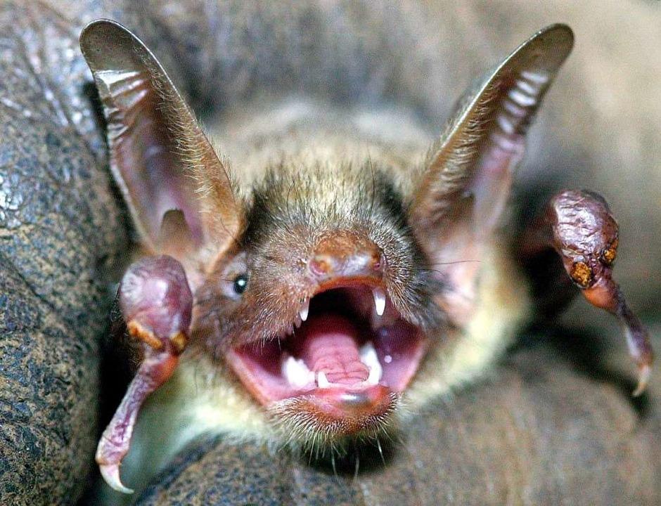Lebt auch im Gundelfinger Wald: eine Fledermaus.  | Foto: Holger Hollemann