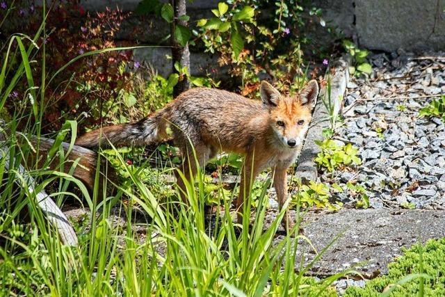 Die Freiburger beobachten immer mehr Wildtiere in der Stadt