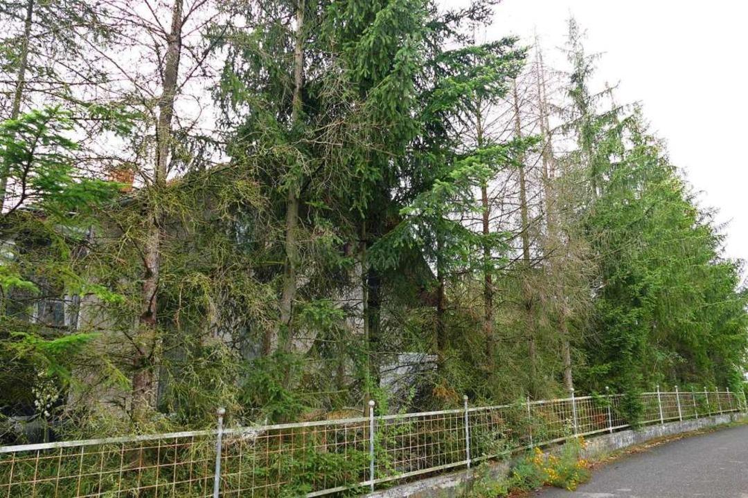 Stellen die Bäume auf dem verwilderten...cht? Das will die Gemeinde nun klären.  | Foto: Victoria Langelott