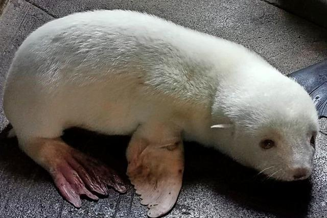 Seebärenbaby so weiß wie Schnee