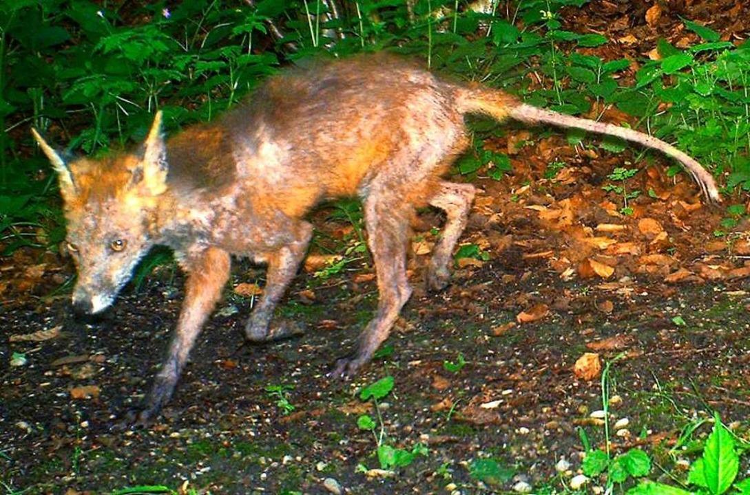 Ein von der Fuchsräude befallenes Tier...mit einer Wildtierkamera (Symbolfoto).  | Foto: Christof Janko