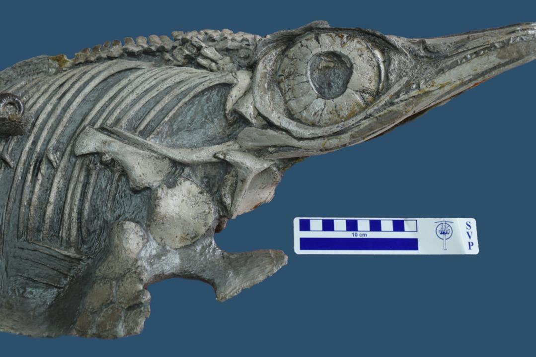 Die neu entdeckte Fischsaurier-Art Hau...m Posidonienschiefer von Dotternhausen  | Foto: D.Cortes , SMNS (dpa)
