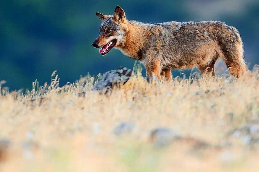 Ein Wolf (Symbolfoto) lebt  dauerhaft in den Schluchseer Wälder.  | Foto: STAFFAN WIDSTRAND (AFP)