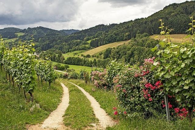 Rosen in Reben dienten früher als Warnsignal