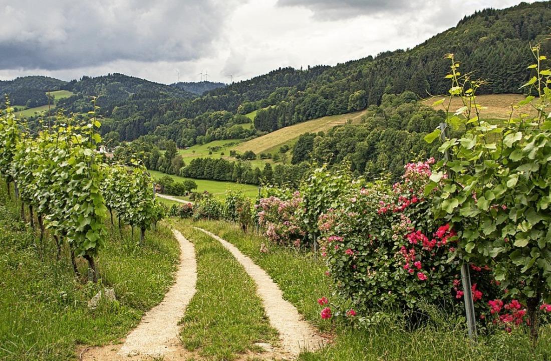 Mitten im Rebberg am Rande des Waldes ...n jeder Rebreihe eine Rose gepflanzt.   | Foto: Hubert Gemmert