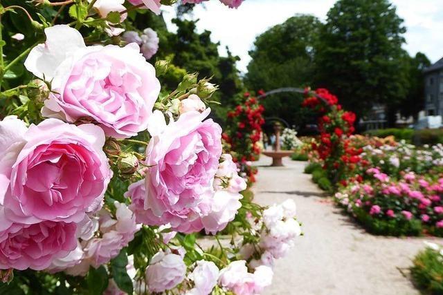1185 Blumenfreunde wählen Offenburgs schönste Rose