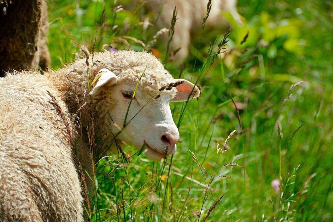 Für gerissene Schafe gibt es in  der &...attung, wenn sie richtig gezäunt sind.  | Foto: dpa