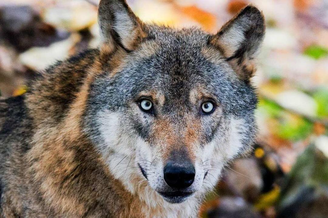 Die Debatte um den Wolf im Schwarzwald wird meist sehr emotional geführt.  | Foto: Julian Stratenschulte