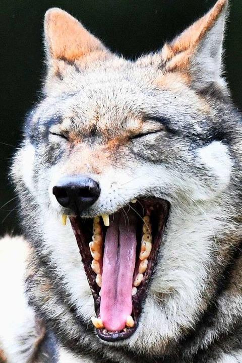 Ein Wolf springt ungern über Zäune, er kriecht lieber drunter durch.  | Foto: Carsten Rehder (dpa)