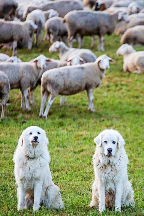 In der Schweiz werden die Herdenschutz...halter mit viel Zeit und Sachkenntnis.  | Foto: Christoph Schmidt