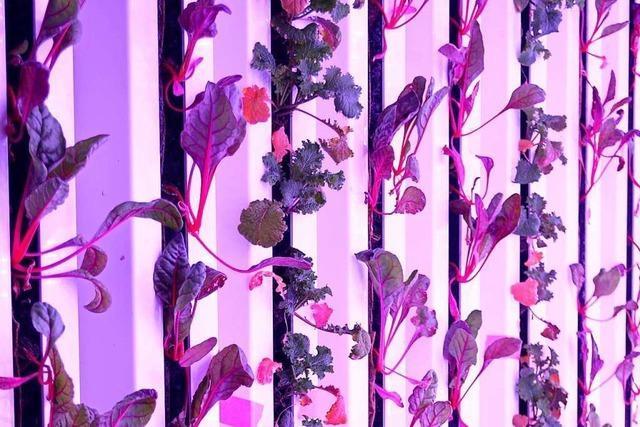 Basler Indoorfarm könnte bald Erdbeeren im Winter anbieten