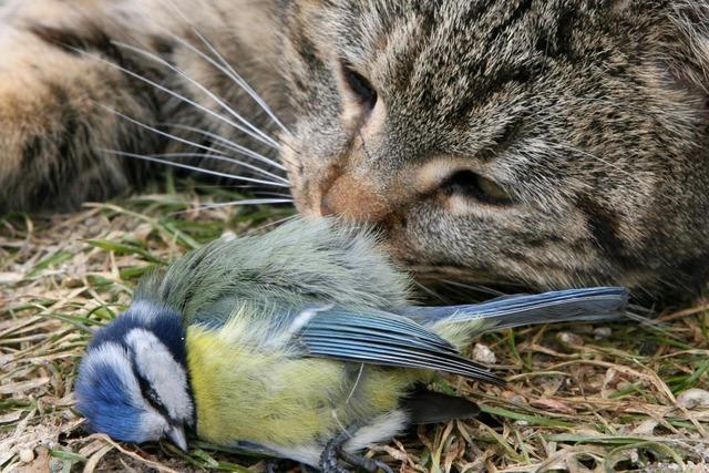Es gibt immer weniger Singvögel – sind Hauskatzen daran schuld?