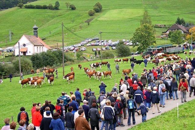 In Münstertal müssen die Kühe in diesem Jahr alleine feiern