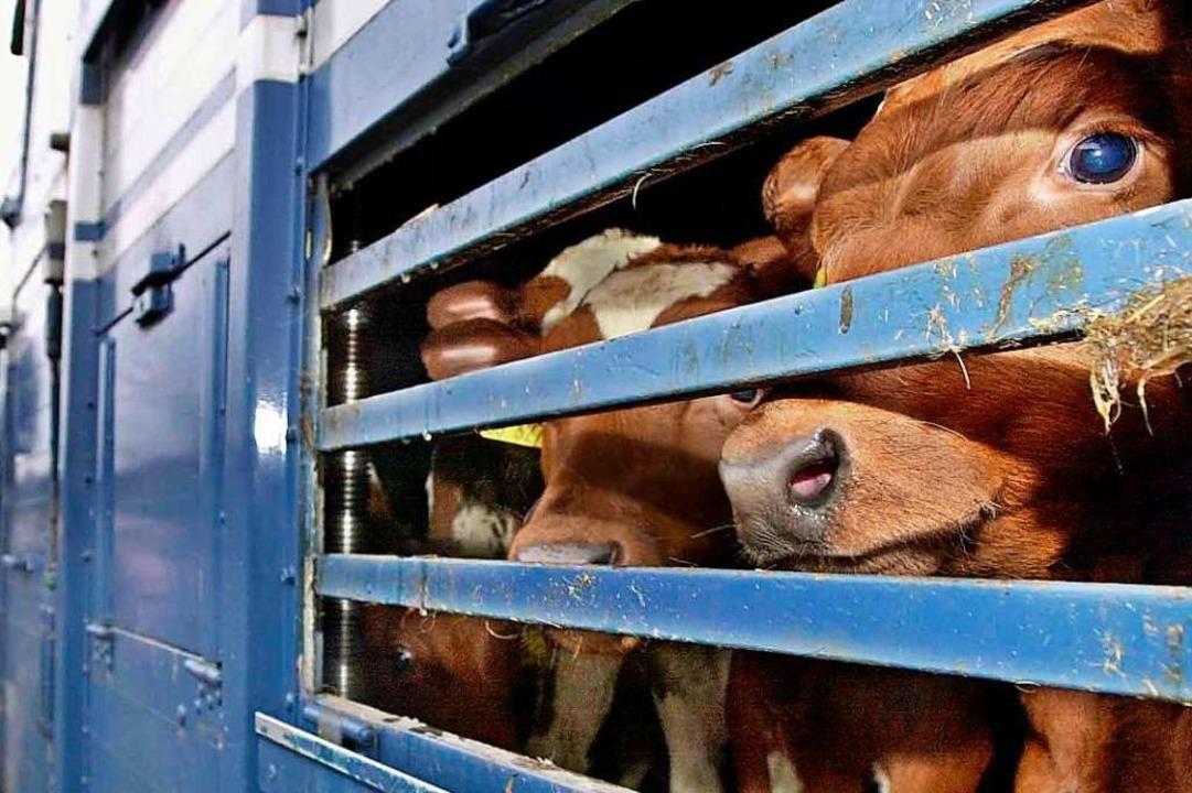 Enormer Stress für die Tiere?: Ein Transport zum Schlachthof.  | Foto: Ulrich_Perrey