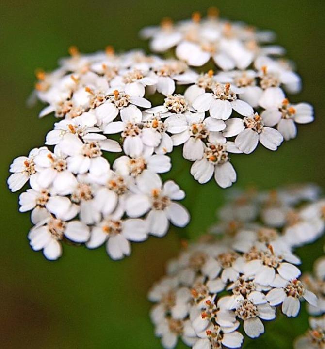 Die Schafgarbe ist Lieblingspflanze von Kräuterexpertin Michaela Girsch.  | Foto: Andrea Warnecke