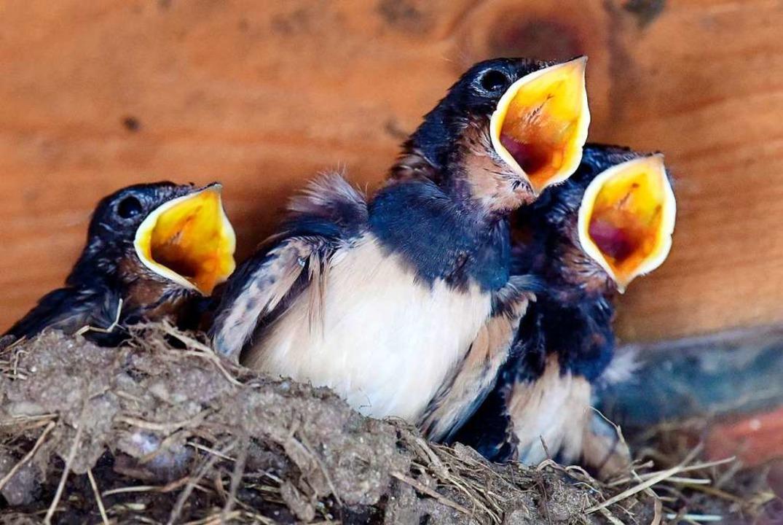Dauert noch, bis sie richtig fliegen können: Junge Schwalben.  | Foto: Rainer Jensen