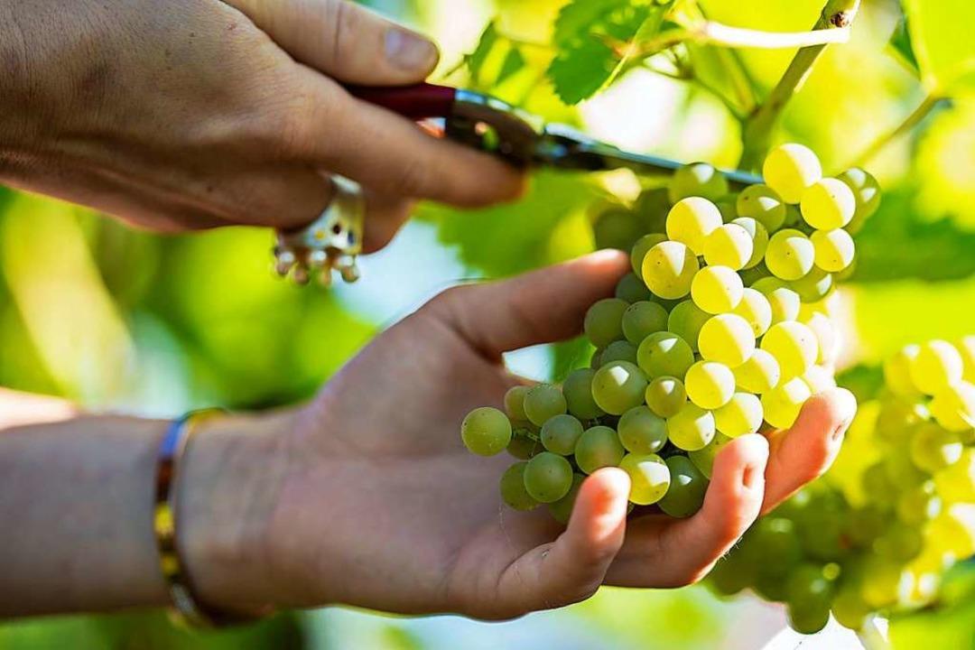 Die Herkunft der Trauben wird wichtiger für die korrekte Bezeichnung des Weins.  | Foto: Uwe Anspach (dpa)