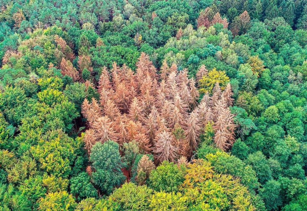 Abgestorbene Bäume (Symbolbild)  | Foto: Patrick Pleul