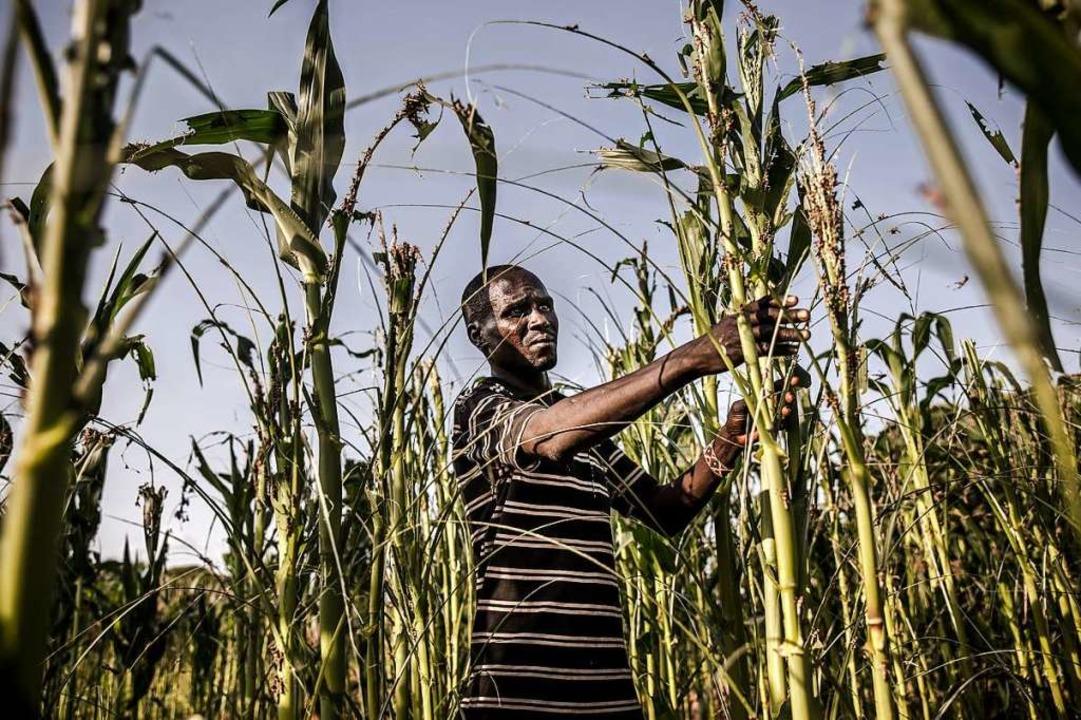 Ein Bauer in Kenia begutachtet den Sch...uschreckenschwärme in seinem Maisfeld.  | Foto: LUIS TATO