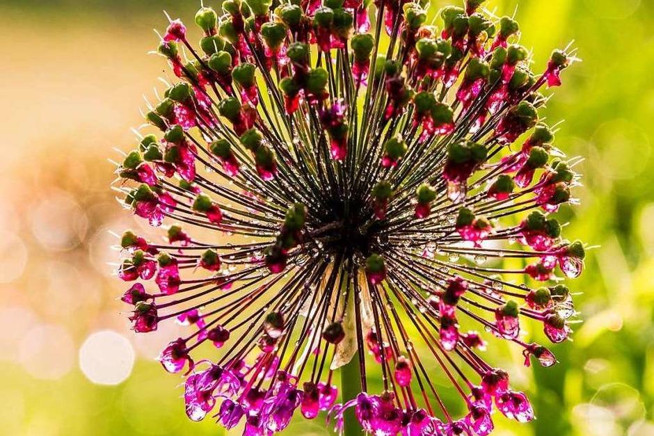 Diese Blüte hat Volker Krieger so gesehen. (Foto: Volker Krieger)