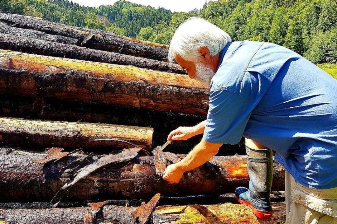 Dieter Berger untersucht das Holz unte...Rinde. Darin finden sich  Käferlarven.  | Foto: Gerald Nill