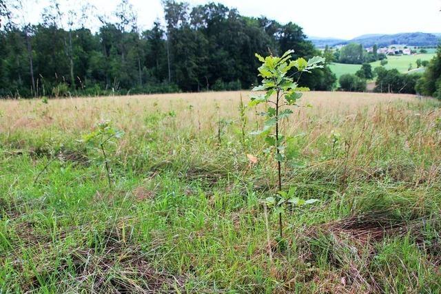 Efringen-Kirchens Förster will seine Wälder resistenter machen