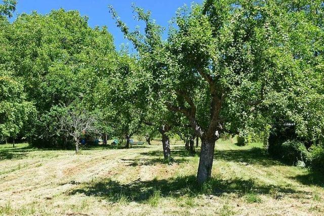 Fast 60 Prozent der Obstbäume auf dem Tüllinger sind pflegebedürftig