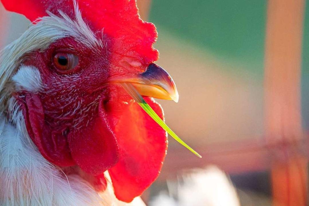 Eine Nachbarin wird von einem Hahn um ...t – deshalb zog sie vor Gericht.  | Foto: Sebastian Gollnow (dpa)