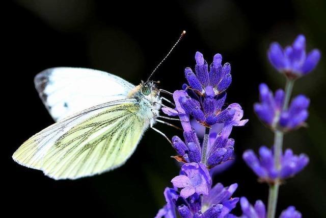 Lebensräume für Schmetterlinge im Breisgau werden immer kleiner