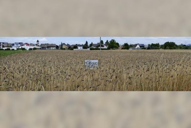 Seltene Getreideart in Ichenheim