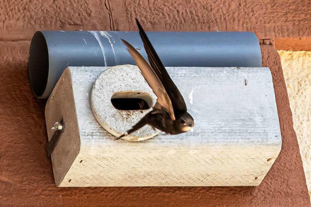 In der Luft fühlen sich die Mauersegler am Wohlsten.  | Foto: Hubert Gemmert