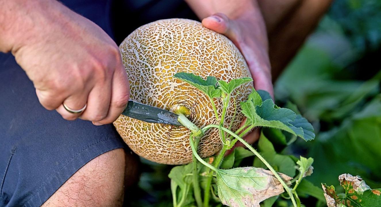 Melonenernte: Die  gegenüberliegende S...muss duften, dann ist die Frucht reif.  | Foto: Sven Hoppe