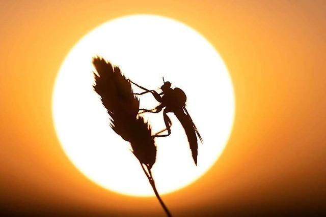 Insekt auf Grashalm auf dem Malterdinger Bienenberg