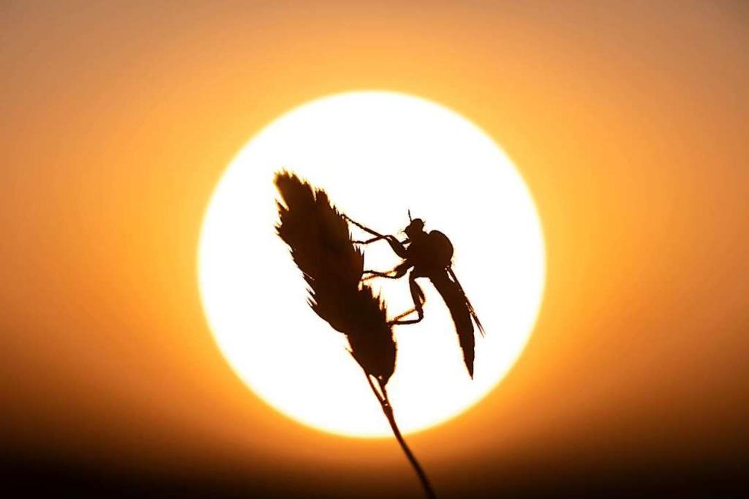 Insekt auf Grashalm.    Foto: Emanuel Jauch
