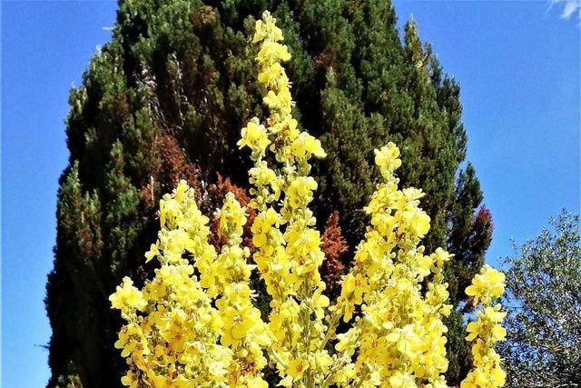 In einem Garten in Schopfheim blüht eine fast drei Meter hohe Königskerze