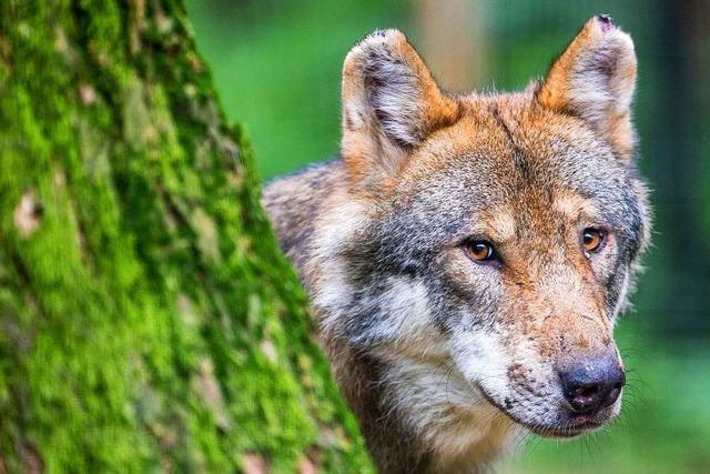 Schutz vor dem Wolf - Hilfe für Nutztierhalter im Schwarzwald