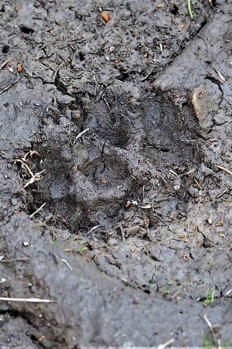 Das Trittsiegel eines Hundes ist runder als das eines Wolfs.    Foto: Susanne Gilg