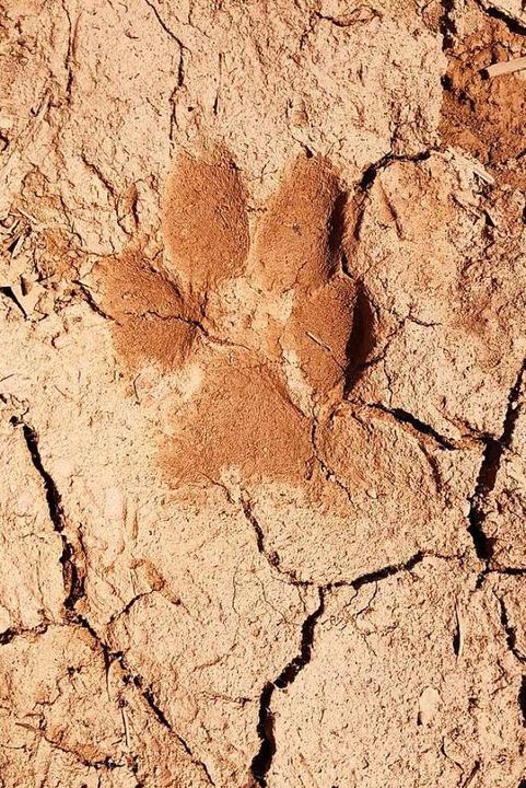 Dieses Trittsiegel eines Wolfs hat die...rdschwarzwald bei Forbach aufgenommen.    Foto: Forstliche Versuchs- und Forschungsanstalt (FVA)