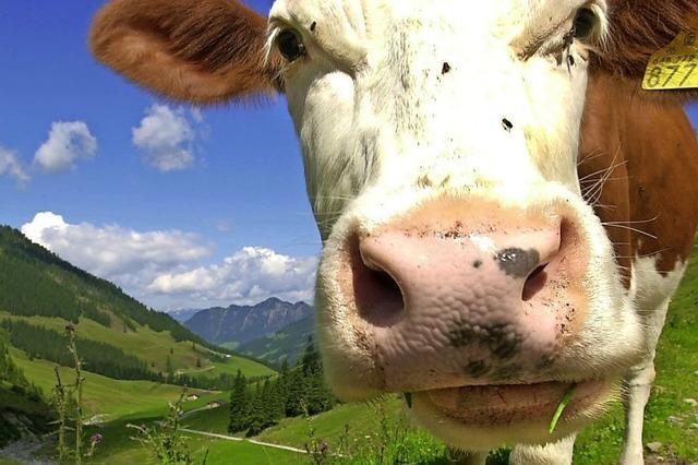 Österreich will Kuh-Unfälle vermeiden