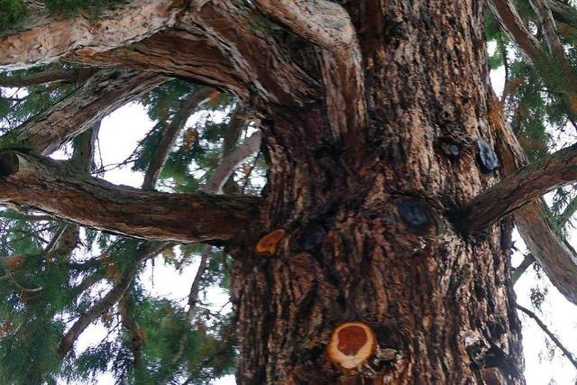 Mammutbaum wird bleiben – Besitzer wehrt sich gegen Gerüchte