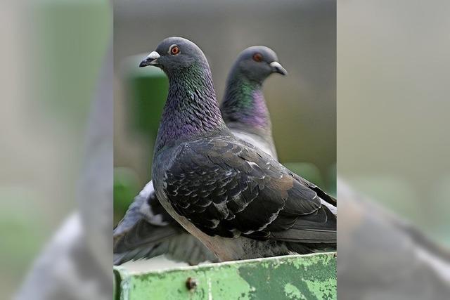 Tauben werden für Mahlberger zu einer Plage