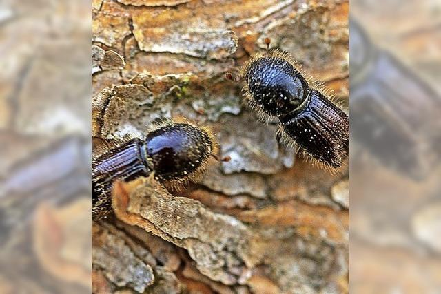 Käfer beschert Katastrophen-Lage