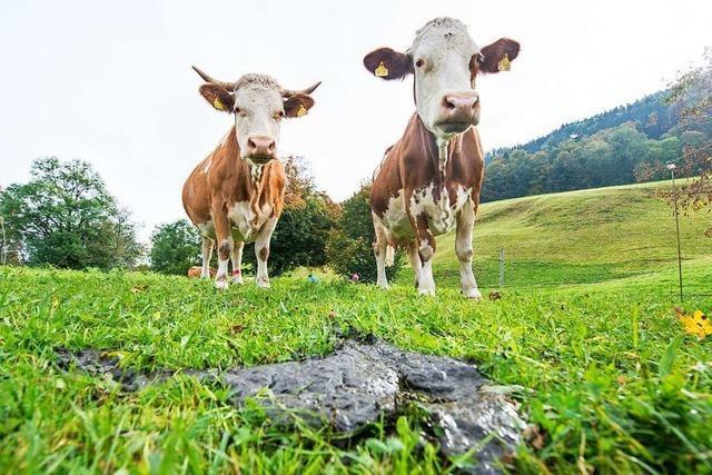 Forscher haben Kühen beigebracht, die Toilette zu benutzen