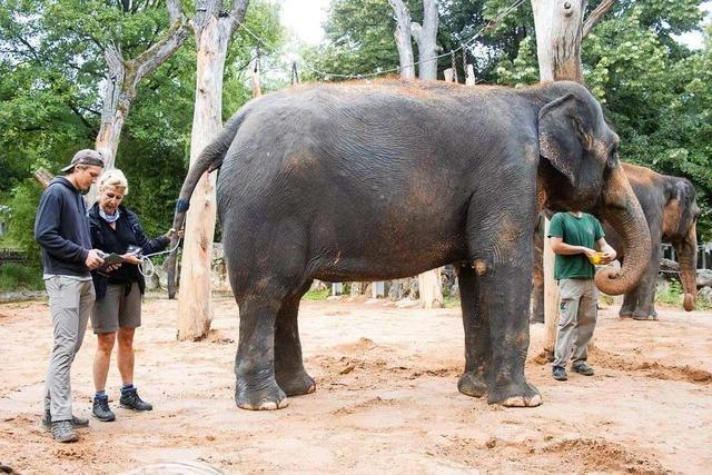 Im Stuttgarter Zoo wurde erstmals einem Elefanten der Blutdruck gemessen