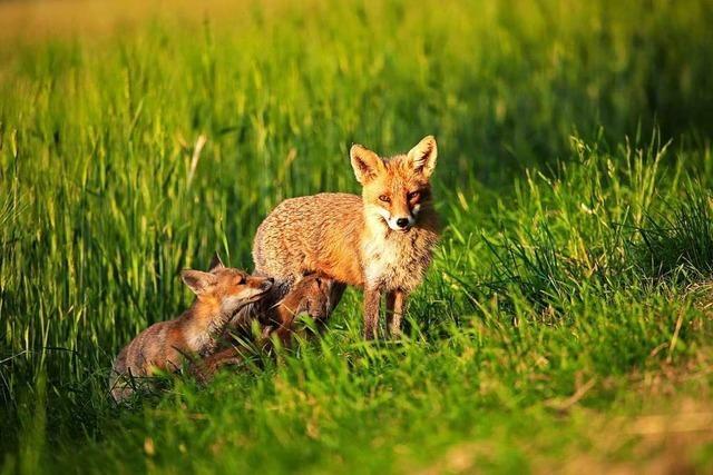 Im Südwesten sind immer mehr getestete Füchse an Räude erkrankt