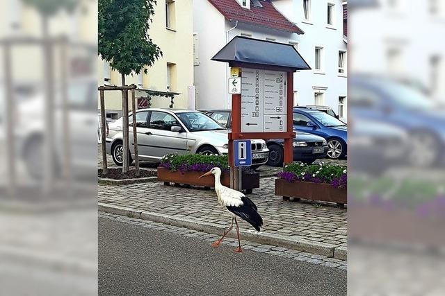 Storch auf Seelbachs Straßen