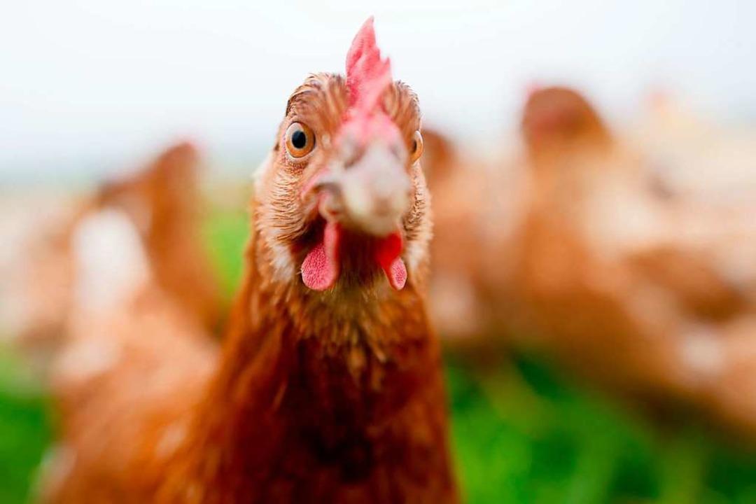 Dieses Huhn kann in der Natur scharren... in einem Stall gehalten (Symbolbild).  | Foto: Julian Stratenschulte